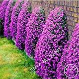 200 semi / lot Roccia Cress, semi Aubrieta Cascade Fiore viola, Superb tappezzanti perenni per il giardino di casa