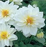 Fiore - Dalia Figaro Bianco - 20 Semi