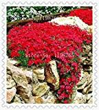 Semi di fiori 100 Aubrieta Seeds - Semi di Cascade Fiore viola, tappezzanti perenni superba, semi di fiori per il ...